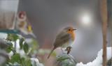Rotkehlchen / (European) Robin