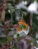 Rotkehlchen / Robin