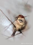 Spatz / House Sparrow