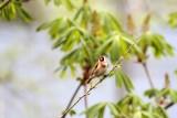 Distelfink / Goldfinch