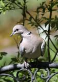 Türkentaube / (Eurasian) collared dove