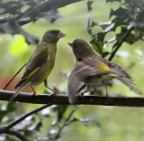 Greenfinch Mama with Baby