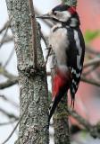Buntspecht / Great Spotted Woodpecker