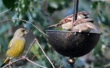 Greenfinch and House Sparrows