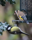 European Goldfinch and Great Tit