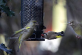 Greenfinches and European Goldfinch