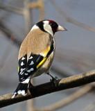 Distelfink / (European) Goldfinch