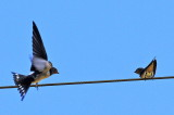 Barn Swallows - Mother and Child