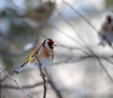 Goldfinches are around...