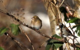 Chaffinch (female) and Sparrow