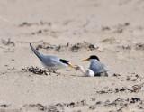 least_terns