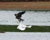 Peregrine Falcon vs Snowy Egret