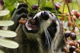 Hungry raccoon eats a berry