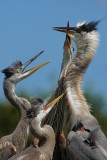 Great blue heron chicks begging mom