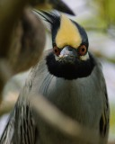 Yellow-crowned night heron funny look