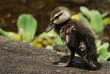 Duckling on a log