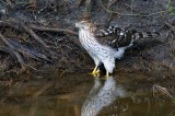 Red-shouldered hawk in the water
