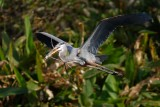 Great blue heron with nest materials