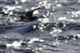 Brown booby in backlight