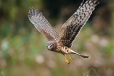 Northern harrier, closeup