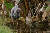 Blue heron and rat