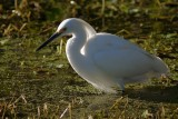 Snowy egret in the backlight