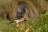 Northern harrier, talons down