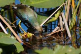 Purple gallinule drinking