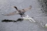 Cormorant water takeoff