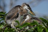 Great blue heron chicks
