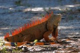 Gloriously orange 'green' iguana