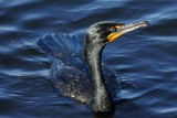 Cormorant in the water, glistening