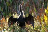 Anhinga in backlight glow