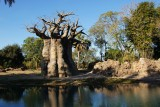 Baobab tree and water