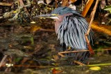 Green heron having a soak
