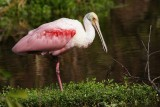 Roseate spoonbill in full color