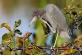 Little blue heron scratching an itch