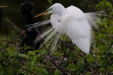 Great egret with breeding feathers fanned out