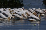 White pelican feeding frenzy