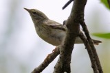 Blackpoll warbler - female