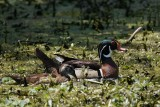 Wood duck male with duckling