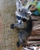 Baby raccoon hanging on a palm trunk