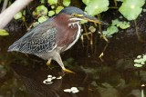 Green heron in the water