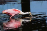 Roseate spoonbill spooning for food