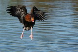 Black-bellied whistling duck coming in to land