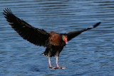 Black-bellied whistling duck about to land