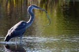 Great blue heron and snake dinner