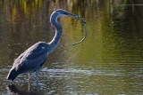 Great blue heron and plucky snake