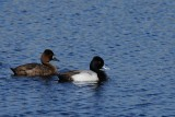 Male & female lesser scaup