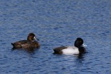 Lesser scaup - male and female